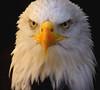 """""""To Know Him Is To Love Him"""" (Galeyo) Tags: ngc eagles iloveallofnatureswildlifelevel1 me2youphotographylevel1 freedomtosoarlevel1birdphotosonly freedomtosoarlevel2birdphotosonly freedomtosoarlevel2birdsonly"""