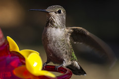 Hummingbird at my feeder (pointnshoot) Tags: hummingbird canonef100mmf28lmacroisusm