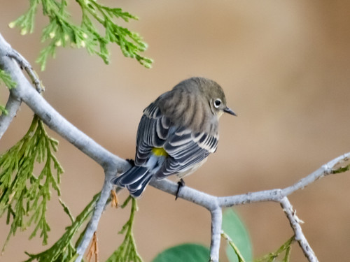"""Yellow-rumped Warbler • <a style=""""font-size:0.8em;"""" href=""""http://www.flickr.com/photos/59465790@N04/8181402323/"""" target=""""_blank"""">View on Flickr</a>"""