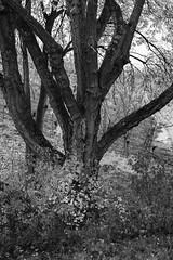 L1006310 (Kopie) Kopie 2048 (WN Knipser) Tags: blackwhite kappelberg fellbach herbststimmung schwarzweis leicammonochrom