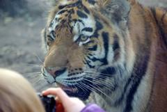 .  . (PahaKoz) Tags: zoo tiger budapest amurtiger