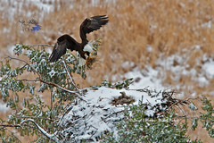 Feathering a Frosty Nest (Daryl L. Hunter - The Hole Picture) Tags: baldeagle idaho eaglesnest endangeredspecies eaglets flyingeagle greateryellowstoneecosystem baldeaglechicks recoveringspecies featheringnest