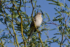 Northern Mockingbird (Arizphotodude) Tags: arizona bird nature birds animal animals flying wings nikon desert wildlife birding flight az 300mm gilbert nikkor avian 2012 ariz gilbertaz gilbertriparianpreserve riparianpreserve d7k d7000 nikond7000 riparianranchatwaterpreserve brucewolke