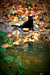 Hobo cat (Lau31) Tags: autumn black green water cat blackcat lost chat sad autumncolors triste hobo lostcat sadeyes yeuxvert hohocat