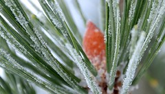 Pine Frost (Kelly - McLaughlin) Tags: winter snow cold pine frost crystals hoarfrost pineneedles