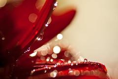 Sparkling Petals (linlaw39) Tags: winter red sunlight blur flower macro reflection nature wet sunshine closeup sparkles scotland petals drops aberdeenshire bokeh refraction daisy waterdrops sparkling 2012 fraserburgh lindal canoneos500d november2012 105mmprimelens 17112012