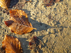 Shadows of a Beech-Leaf (Giles Watson's poetry and prose) Tags: shadow poetry poem ridgeway beechleaf