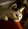 Perdita (Anthony. Vaughan) Tags: pet cat mycat flickrduel a580 minoltaamount sal1650