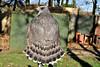 Goshawk Female From The Rear 3 (Diko G.W.) Tags: natureselegantshots panoramafotográfico natureandpeopleinnature mygearandme magicmomentsinyourlifelevel1 me2youphotographylevel1 freedomtosoarlevel1birdphotosonly