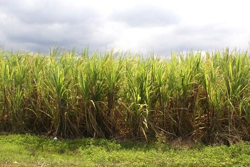canne à sucre savanna