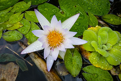 pond flower (island friend) Tags: waterlilies ponds pondlilies
