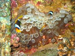 Hello! (energia buran) Tags: sea fish coral barco underwater redsea dive egypt deep diving egipto wreck reef buceo thistlegorm arrecife submarinismo pecio marrojo rasmohammed photosub abunahas sharkyolanda tiranstraight