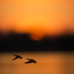 ignoring the fire in the sky (marianna - away for a while) Tags: winter light sunset sun water river duck bokeh landing mariannaarmata