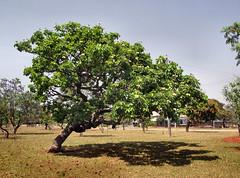 DSCF8018  -  Sombra Amiga (Marcia Rosa ()) Tags: tree nature arbol natureza cerrado rvore marciarosa natureandpeopleinnature