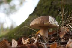 Bitten (Djenzen) Tags: mushroom canon jeroen herfst jansen paddestoel authum 40d djenzen