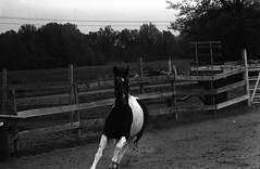 IMG_0019 (thinktank8326) Tags: ohio blackandwhite horse film grey paint flickr mare minolta gray ilfordhp5 pearl domino ilford oberlin pinto warmblood tobiano trakehner minolta303b geotaggedohio kremeroyale thinktank8326