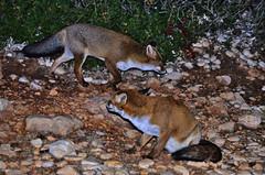 Volpe sarda_Sardinian fox_Vulpe Vulpes Ichnusae_Mom&Son (Jacopo Longu JEKKEPE) Tags: sardegna nature night nikon sardinia natura fox animale santantioco volpe sulcis vulpes animaliselvatici volperossa canidi fotonaturalistica nikond5100 volpesarda
