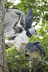 Harpy Eagles_Harpia harpyja_BZ7_1153 (Packhorsetravel) Tags: bird peru birds sex canon fun photography eos is amazon rainforest power eagle lima mark wildlife birding exotic enjoy usm pe tours iv birdwatching eos1d birdofprey harpy • puno talons copulating tambopata harpyeagle eru 14x birdsofperu neotropical harpiaharpyja carabaya f56l peruvianamazon fbwnewbird neotropics rainforestexpeditions harpyeagles 1dmarkiv ef800mm birdofperu submittingposition neptropical femaleharpyeagle riotmbopata irdsofperu