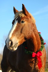 holiday horse (Jen MacNeill) Tags: christmas red horse holiday animal closeup farm wreath bow chestnut belgian stable draft workhorse gypsymarestudios jennifermacneilltraylor