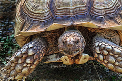 African Spurred Tortoise (Peggy Collins) Tags: interestingness tortoise tortoiseshell explore samson africanspurredtortoise animalcloseup peggycollins