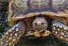 African Spurred Tortoise (Peggy Collins) Tags: interestingness tortoise tortoiseshell explore samson africanspurredtortoise animalcloseup peggycollins