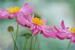 Three Anemones (photoart33) Tags: pink flowers green texture nature garden anemones persephonesgarden
