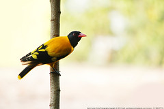Black Hooded Oriole (samitsinha) Tags: samit blinkagain