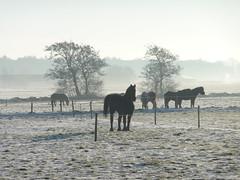 horses in the field (Alta alatis patent) Tags: winter horse snow netherlands field sneeuw friesland fryslan paarden