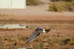 Whoa..bank left! (Arizphotodude) Tags: arizona nature water birds animal animals flying wings nikon hawk wildlife birding flight sigma az raptor gilbert nikkor avian birdofprey 2012 ariz gilbertaz northernharrier gilbertriparianpreserve riparianpreserve d7k 150500 d7000 nikond7000 riparianranchatwaterpreserve brucewolke