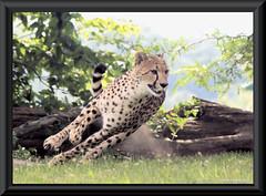 Cheetah and dust (Cheryl Turlin) Tags: specanimal zoosofnorthamerica beautiesbeasts