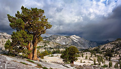 Old Juniper, Distant Rainstorm (James L. Snyder) Tags: california road park old trees red usa mountain storm mountains tree green rain rock horizontal clouds one nationalpark spring ancient highway moody afternoon veiled view natural cloudy gray smooth may rocky stormy sierra snowcapped evergreen alpine pines bark yosemite dome granite halfdome trunk vista rainstorm lone cypress brooding yosemitenationalpark wilderness sierranevada enduring majestic monolith barren chiaroscuro 2009 juniper exposed shrouded gnarled conifers highsierra distant venerable oldgrowth cloudsrest olmstedpoint mariposacounty tiogapassroad virga ca120 juniperusoccidentalis yosemitewilderness treesonhills