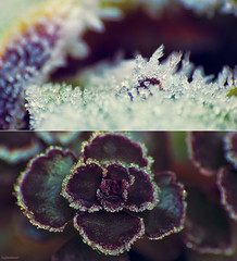Givre multicolore (Kajinohana) Tags: winter flower macro ice nature leaves frozen leaf rainbow colorful frost colours hiver multicolor givre feuille arcenciel dcr250 raynox