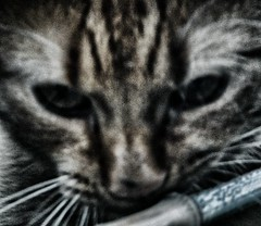 explored (monicaloves) Tags: cat paco gatto redcat gattorosso ldlportraits monicaloves