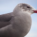 Portrait of a Seagull 1