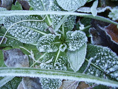 Dec2012 168 Frosted primroses (monica_meeneghan) Tags: winter garden frost ngc artofimages naturescarousel fleursetpaysages blinkagain anaturecanvas