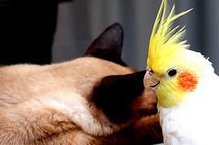 O gato e a calopsita (mariohowat) Tags: mygearandme mygearandmepremium mygearandmebronze blinkagain freedomtosoarlevel1birdphotosonly freedomtosoarlevel1birdsonly