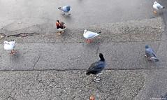 L'attraction... (Diegojack) Tags: eau pigeons lac oiseaux canards mandarins mouettes foulques