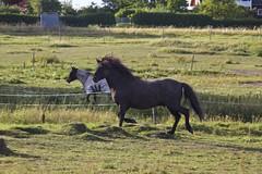 Fin kuse... (Patrick Strandberg) Tags: horse canon sweden hst stergtland icelandichorse islandshst vikingstad canon60d canoneos60d eilifur nestalund