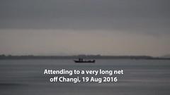 Attending to a long net at Changi, Aug 2016 (wildsingapore) Tags: changi carpark7 island singapore marine coastal intertidal shore seashore marinelife nature wildlife underwater wildsingapore