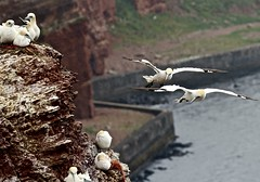 Gannets / Basstlpel (heiko.moser ( 9000000 views )) Tags: gannets basstlpel helgoland vogel vgel animal animale tier tiere bird flyingbird natur nature natura canon heikomoser