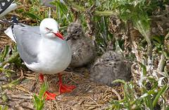 Red billed gull with chicks. (from a hide) (Bernard Spragg) Tags: redbilledgull nature seabirds nest chicks sonya580 bird