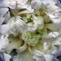 Snowball (Jazz Jumper) Tags: white pure delicate petals peony flower flora bloom blossom sensual beautiful square katescott