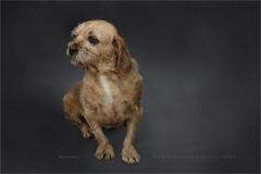 Hummel (Marijke M2011) Tags: borderterrier huntingdog dog dogportrait canine animal pet petportrait cute love huisdier hond hondenportret indoor friend