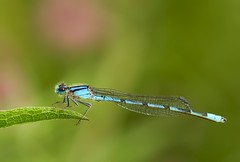 Damselfly (Karen_Chappell) Tags: insect macro damselfly canonef100mmf28usmmacro bokeh green blue nature newfoundland nfld tiny