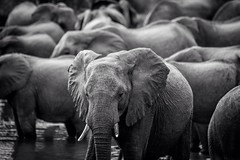 Outcast (Laura Povolo) Tags: conservation wildlife volunteering southafrica herd bnw elephant