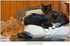 Cats & Mouse (Sherwood Harrington) Tags: pets cats finn guinness luna gingertabby sableburmese tuxedo
