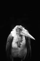 Vulture (maggusw) Tags: vulture vogel bird animal tier geier kln cologne zoo