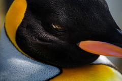 Week 28: Nature Up Close (P r e v) Tags: 52 week project 28 nature up close penguin beak black white yellow orange eye evil nikon d7000 55200mm