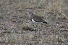 Senegal Lapwing (Vanellus lugubris) (Brendan A Ryan) Tags: vanelluslugubris senegal lapwing