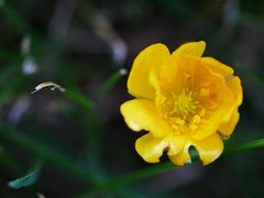 The buttercup fatality. (von8itchfisk) Tags: buttercup yellow macro flower nature outside mygarden garden mylawn deathonthelawn battisford vonbitchfisk